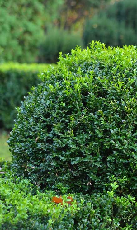 Accurate Outdoor LLC Shrubs & Hedges